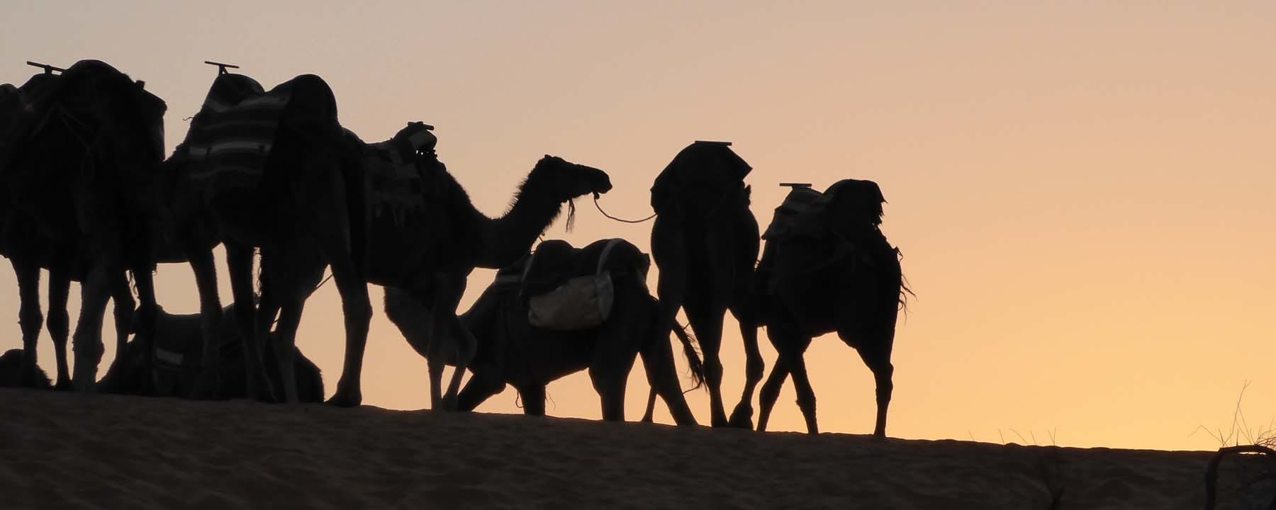 Camels with the sunset_Source NOSADE