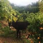 donkie-fig-trees-oranges-paradis-du-safran_source-nosade