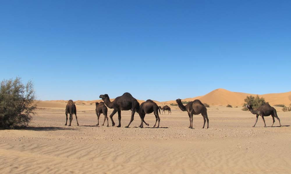 dromedaries-sahara-desert_source-nosade