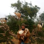 goats-in-argan-trees-morocco_source-nosade