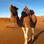 Morocco Sahara Desert Erg Chebbi Camel Dromedar_Source NOSADE